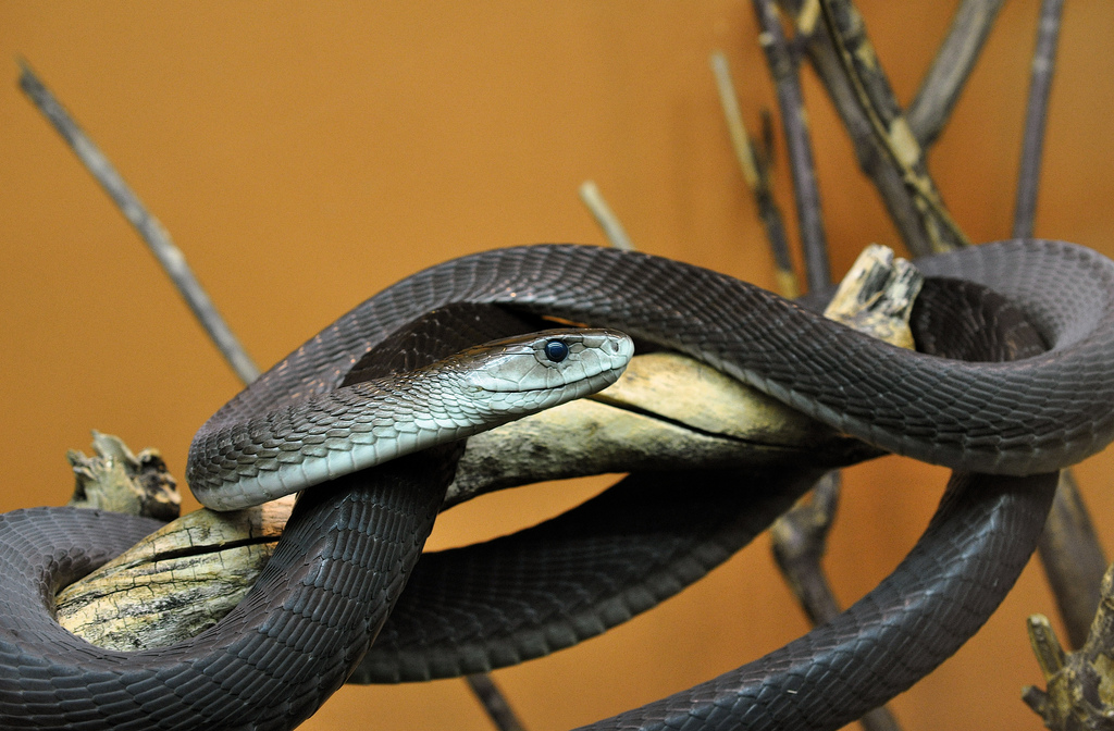 Змея мамба мире черная самая в опасная