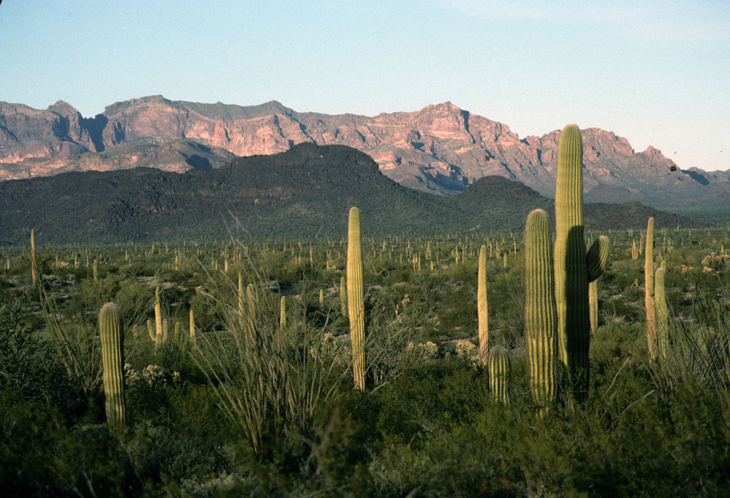 organ_pipe_cactus_arizona