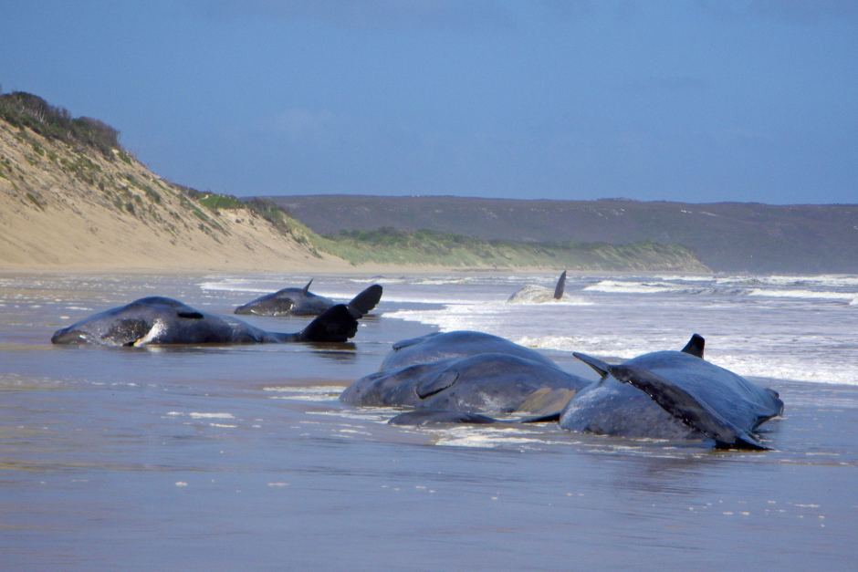 Whales stranding