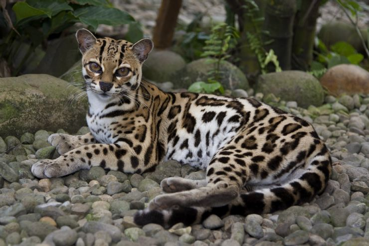 the-margay